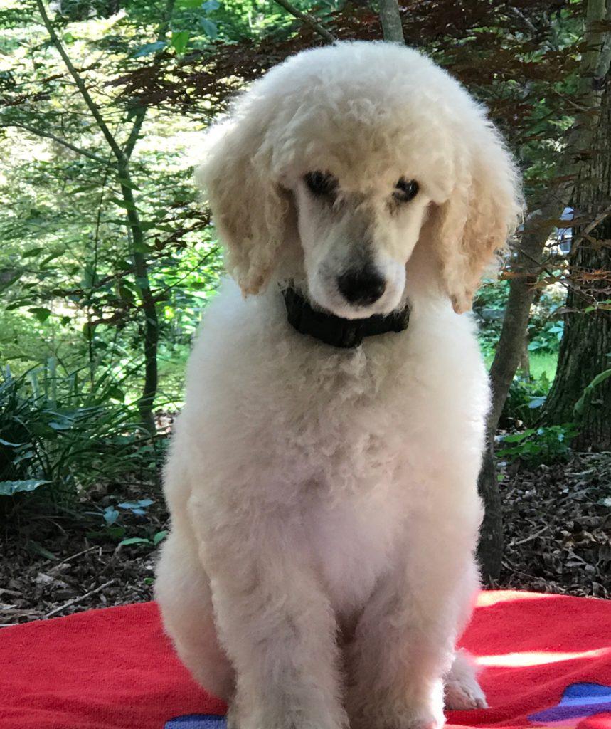 standard poodle puppy