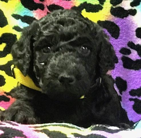 black standard poodle puppy