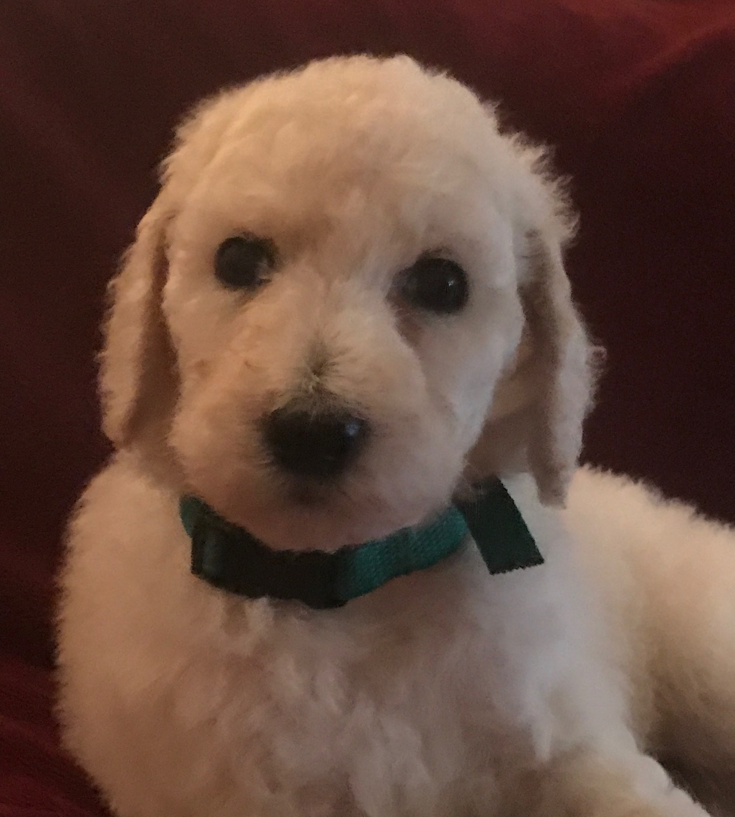 White Standard Poodle Puppy