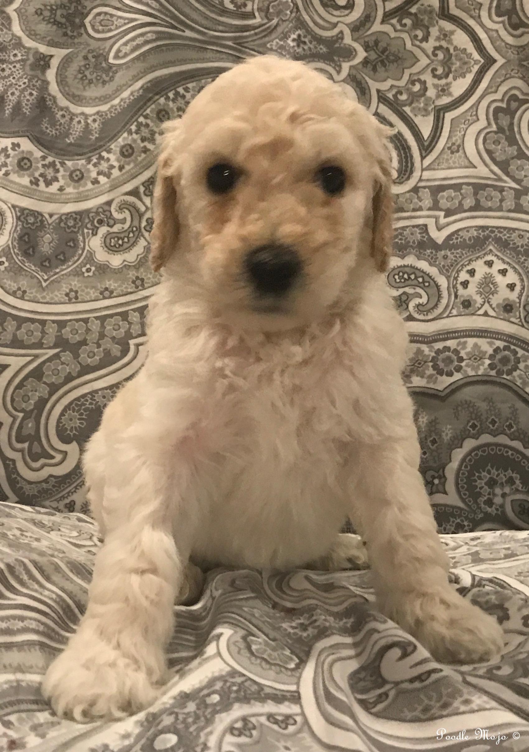 Sunny sold poodle mojo sunny white standard poodle puppy nvjuhfo Images