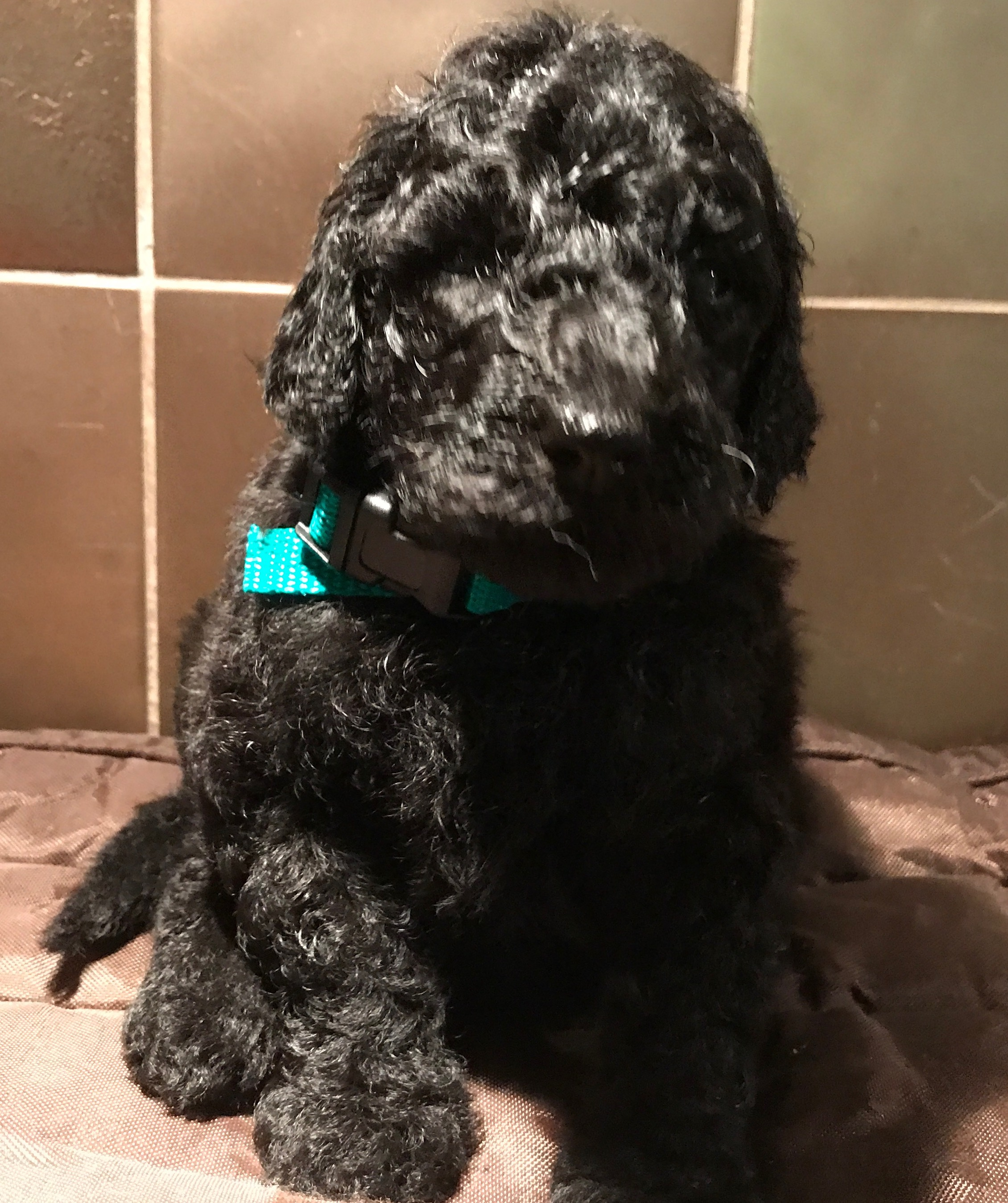 poodle puppies for sale