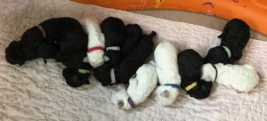Some of our poodle puppies for sale in Charlotte, SC