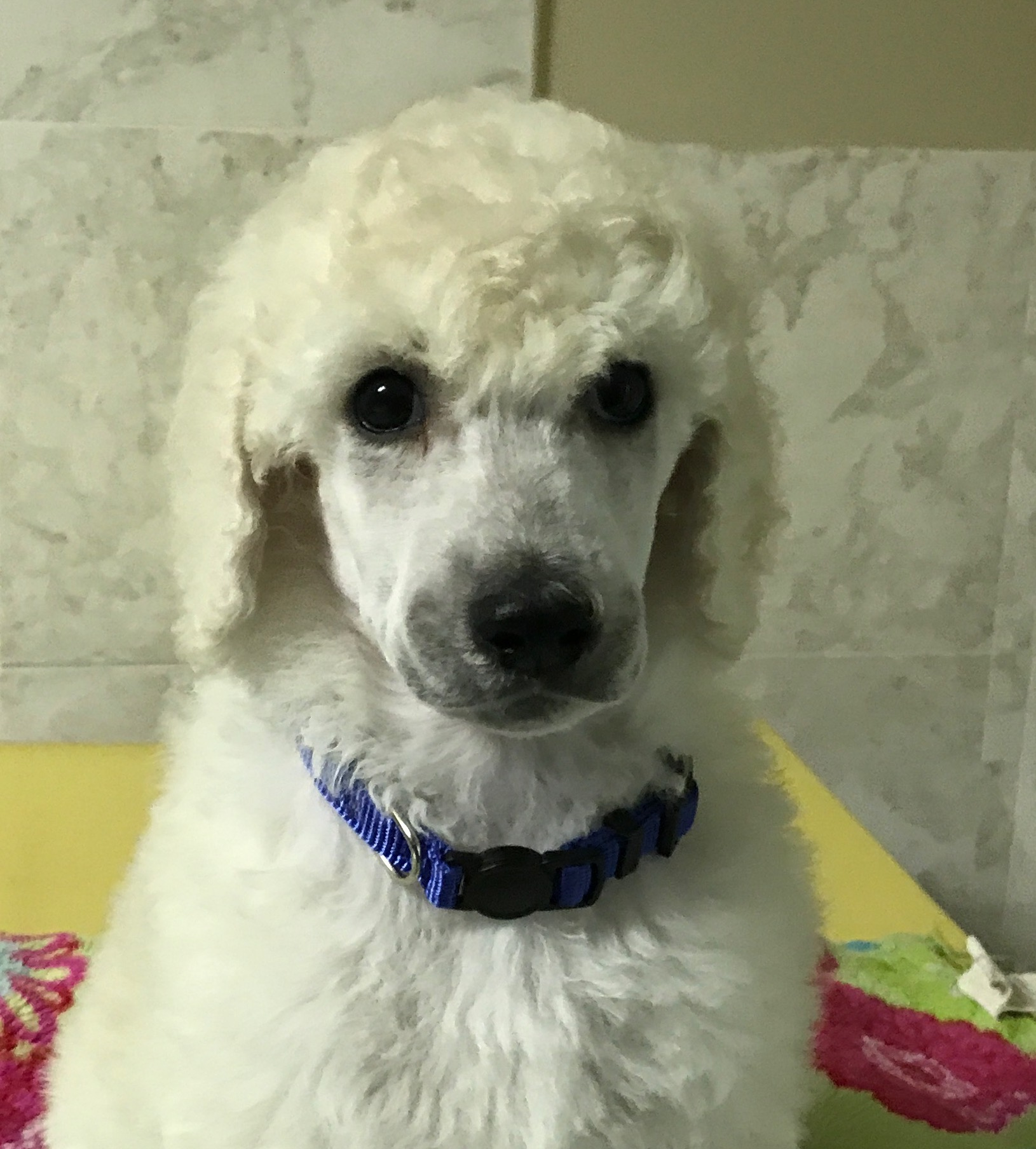 white standard poodle