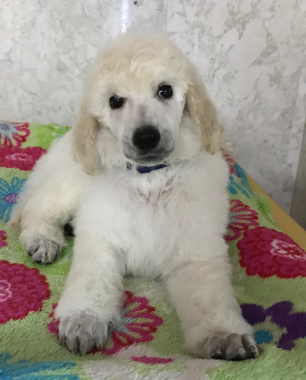 white standard poodle