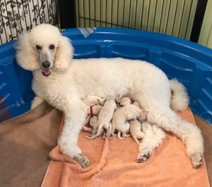 Poodle Puppies For Sale Now In Atlanta Ga