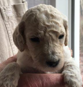 Coriander - White Standard Poodle Puppy