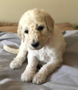 Ginger - White Standard Poodle