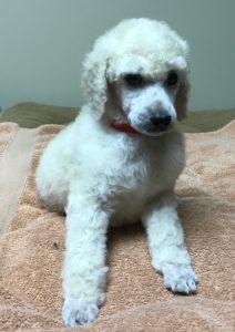 Saffron - White Standard Poodle