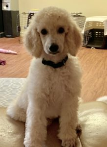 Trained Poodles | Poodle Mojo